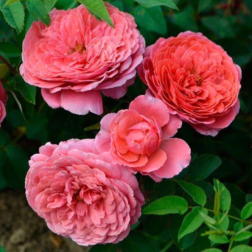 seduction_Picarde_rose_novaspina