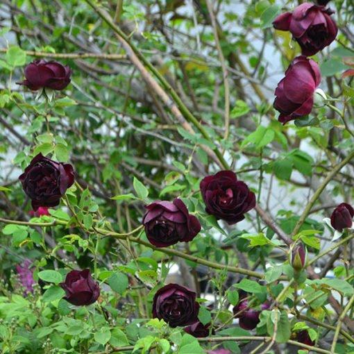 senegal rose novaspina