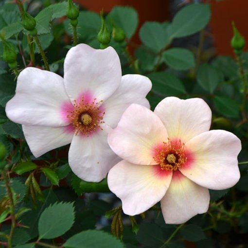 smilingEyes rose novaspina