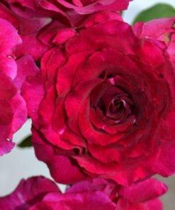somme rose novaspina