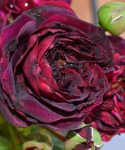 speronella rose novaspina