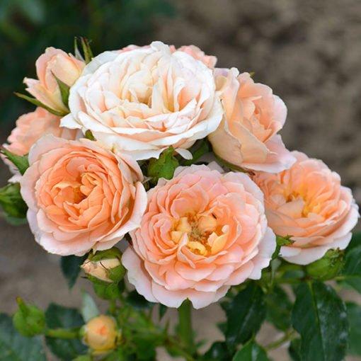 sweetdream rose novaspina