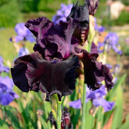tabaro iris novaspina