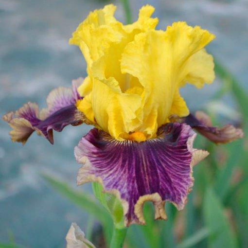 treasure trader iris novaspina