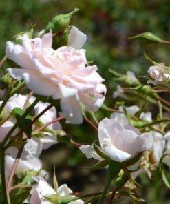 vallonraget rose novaspina