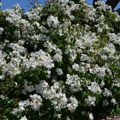 Rosai ad Arbusto - Arbustiva