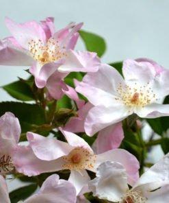 villaada rose novaspina