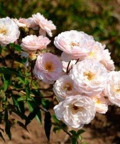 villafidelia rose novaspina