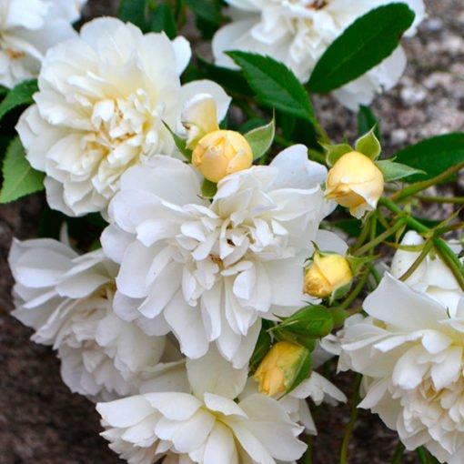 villapanphili rose novaspina