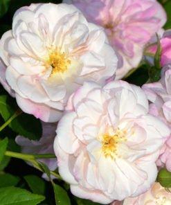 villatorlonia rose novaspina