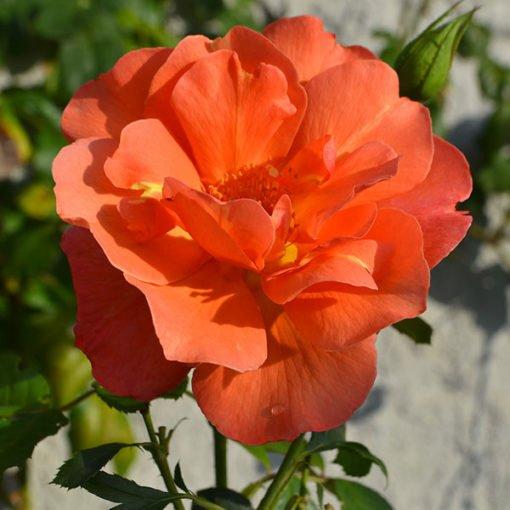 westerland rose novaspina