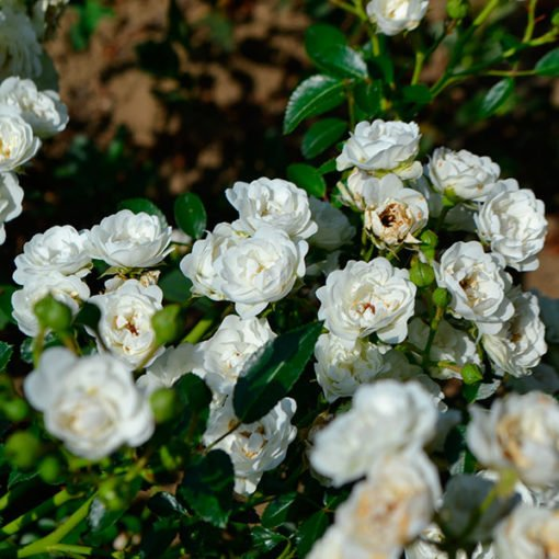 white-fairy_rose_novaspina