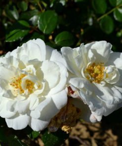 whitenewdawn rose novaspina