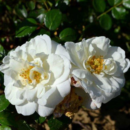 whitenewdawn rose novaspina